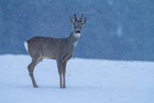 Roe Deer Capreolus Capreolus I...