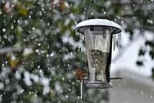 Snowy Carolina Wren