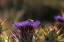 Flowering Capitulum Of Wild Artichoke Thistle Cynara Cardunculus