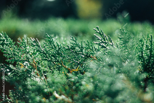 Foto Background of green cypress foliage