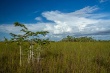 Small Groups Of Trees Growing On The Elevated Areas Of The Everglades Sawgrass Prairie.