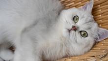 Beautiful Chinchilla Cat In The Basket