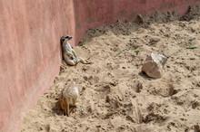 Meerkat Sits Against A Pink Wa...