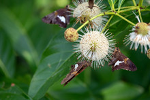 Silver Spotted Skippers Surround The Unique Buttonbush Plant Near An Oklahoma Lake On A Warm Afternoon. Bokeh Effect And Copy Space Available.