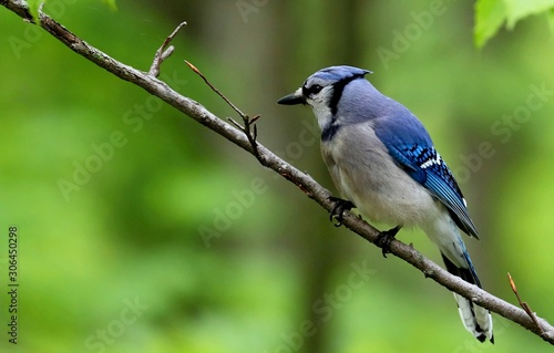 Fotografiet DescriptionThe blue jay is a bird in the family Corvidae, native to North America