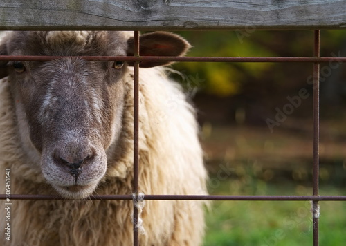Photo Adult sheep looking through a strong wire mesh fencing waiting to be fed