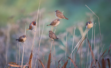 Mannikin Sparrows On Reeds