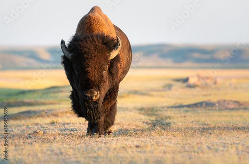 La pose en embrasure Bison Bison in the prairies
