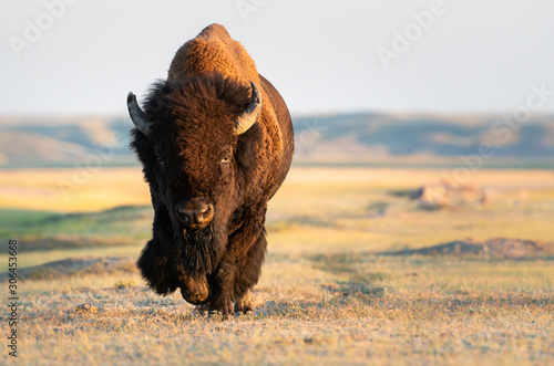 Stampa su Tela Bison in the prairies