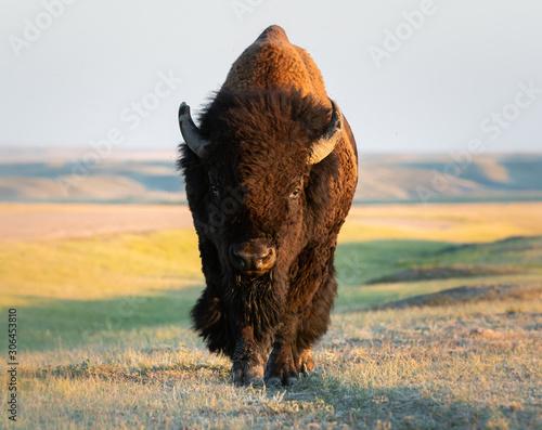 Cuadros en Lienzo Bison in the prairies