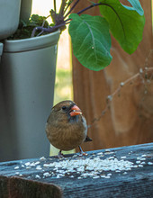 Female Northern Cardinal Eating Bird Seed In Backyard