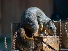 Texas Fox Squirrel Eating Bird Seed In Backyard