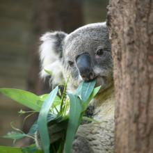 Australia Cute Koala Bear Eating Eucalyptus Leaf On Tree