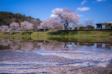 Reflection Of Cherry Blossoms ...