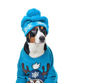 Dog In Knitted Blue Outfit Looking To The Side