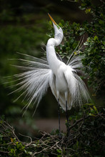 A Great Egret In Breeding Plumage In Florida