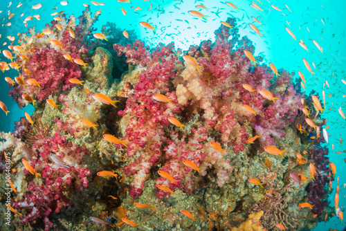 Fototapety, obrazy: Sea goldie and softcoral