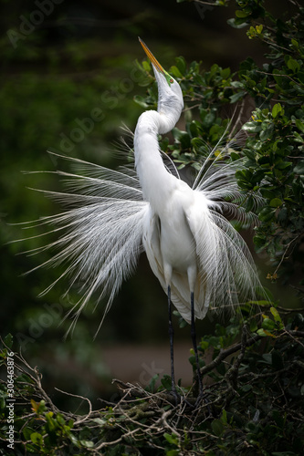 Photo A great egret in breeding plumage in Florida