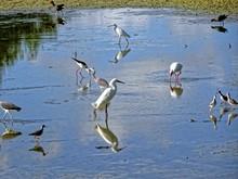 White Snowy Egret In Florida Swamp