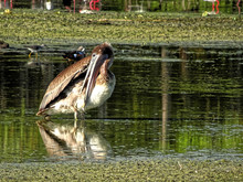 Beautiful Funny Brown Swamp Pe...