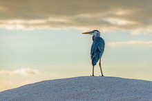 A Great Blue Heron (Ardea Hero...