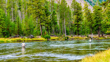 Fly Fishing In The Madison River As It Flows Through The Western Most Part Of Yellowstone National Park Along Highway 191 In Wyoming, United States Of America