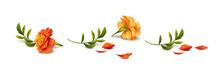 Marigold Flowers Vector