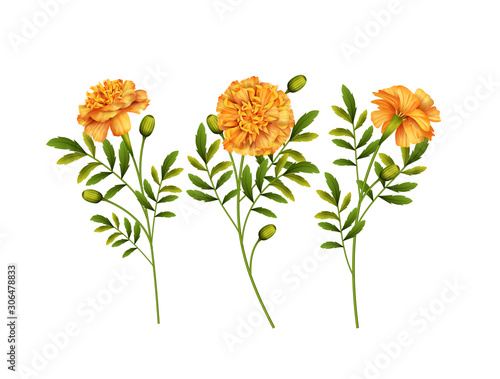 Fotomural  Marigold Flowers Vector