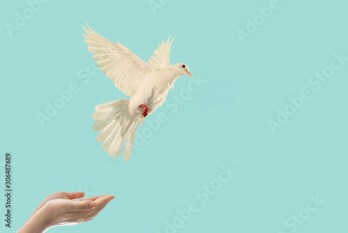 Foto En Lienzo - White Dove flying out of Two Hand to sky in international day of peace concept