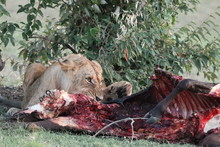 Lion Feeding On A Cow Carcass ...