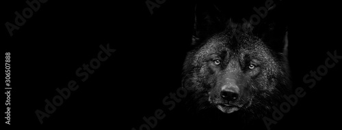 Spoed Fotobehang Wolf Black wolf with a black background