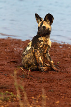 The African Wild Dog (Lycaon Pictus), Also African Hunting Or African Painted Dog, Painted Hunting Or Painted Wolf, Young Dog Separated From The Pack.Puppy Of An African Dog Sitting On The Lake Shore.