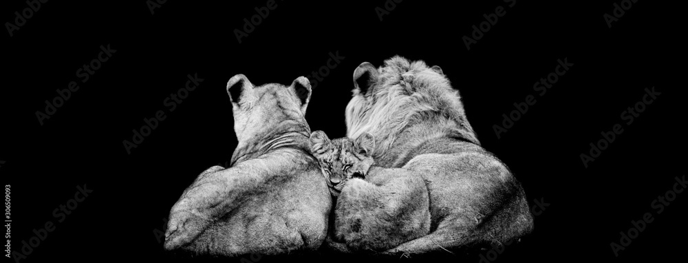 Fototapeta Lion family lying with a black background
