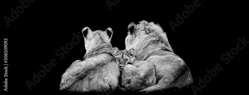 Lion family lying with a black background Wallpaper Mural