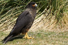 Striated Caracara (Phalcoboenus Australis) In The Tussock Grass On The Coast Of Sea Lion Island In The Falkland Islands.