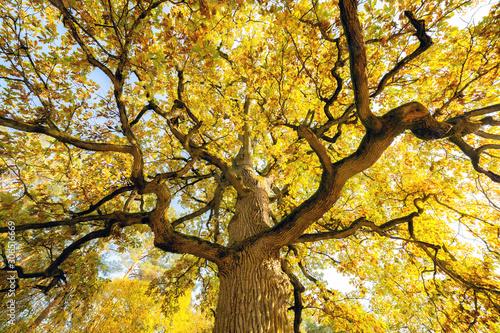 Foto auf Leinwand Gelb Looking at mature oak in autumn