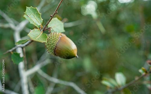 acorns on leaves Canvas Print