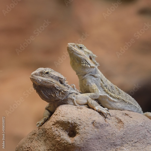 Fotografie, Tablou Central Bearded Dragon Pogona vitticep
