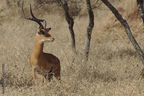 Garden Poster Antelope Antilope majestueuse