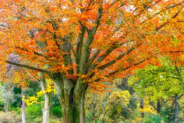 Fototapeta Drzewa autumn leaves on tree