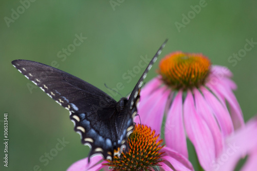 Eastern Black Swallowtail Butterfly (Papilio polyxenes) on Coneflower