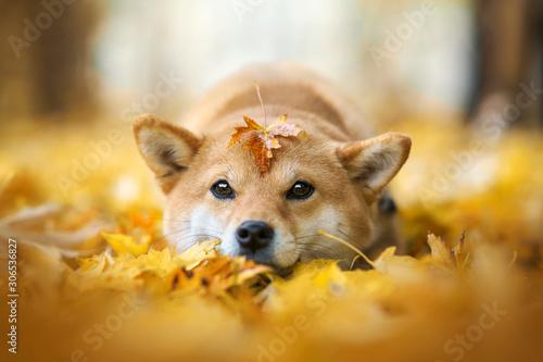 Photo chien shiba inu couché dans les feuilles et avec une feuille sur la tête