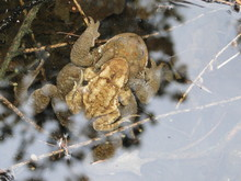 Two Frogs Under The Waters Of A Small Pond, Leaves Of A Tree Reflect In The Water