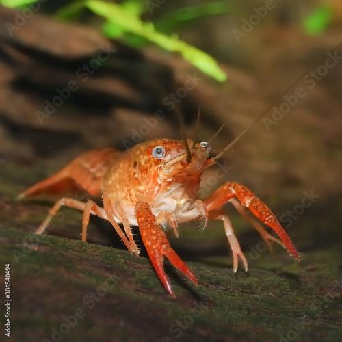 Fotografiet louisiana swamp crayfish Procambarus clarkii in a natural underwater environment