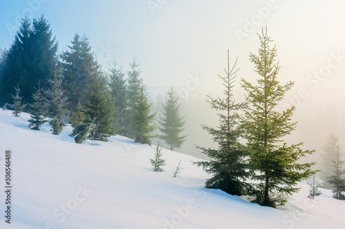 Fototapeta winter fairy tale landscape in mountains. beautiful nature scenery with coniferous forest in fog and some spruce trees on the snow covered slope. wonderful Christmas mood on misty morning obraz