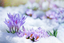 Beautiful Spring Flowers Crocu...