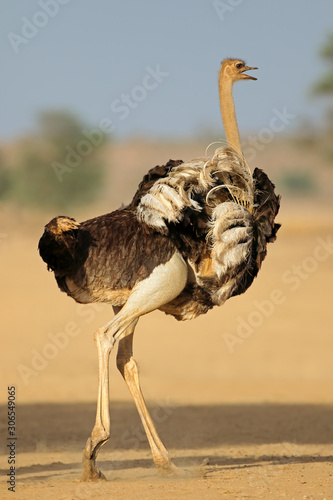 Fotomural Female ostrich (Struthio camelus) displaying with open wings, Kalahari desert, South Africa
