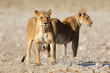 canvas print picture Two lionesses (Panthera leo) at a waterhole, Etosha National Park, Namibia.