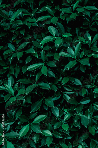 tropical leaf, abstract green leaf texture, nature background - 306556820