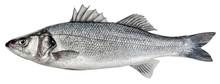 Sea Bass Fish. European Bass I...